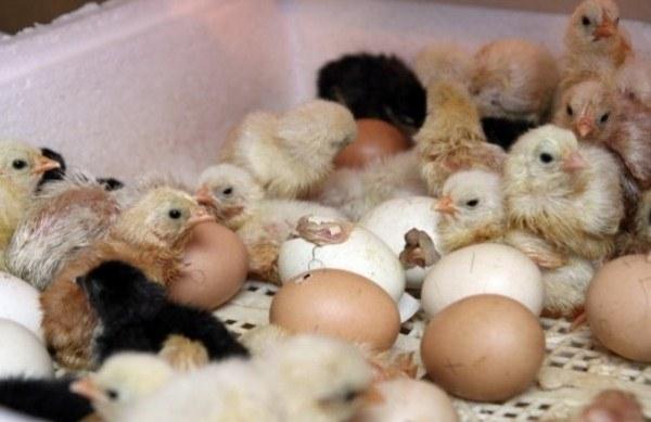 les poulets éclosent des œufs