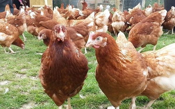 poulets rhodonite