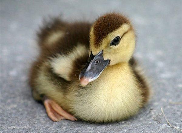 incubation d'oeufs de canard