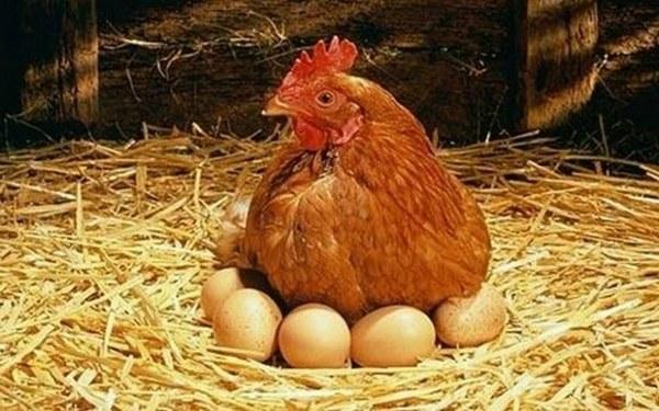 Nourrir les poules pondeuses