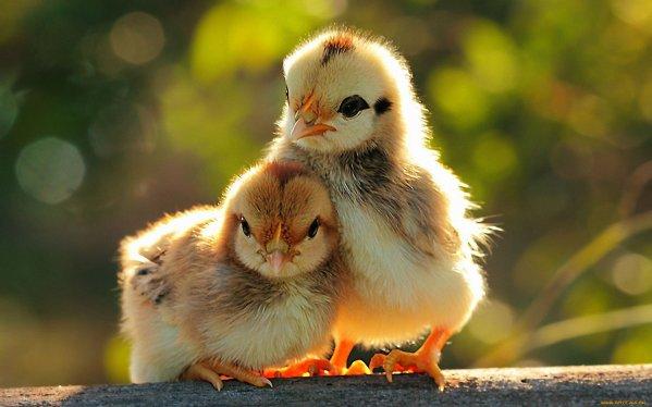 élevage de poulets à la maison