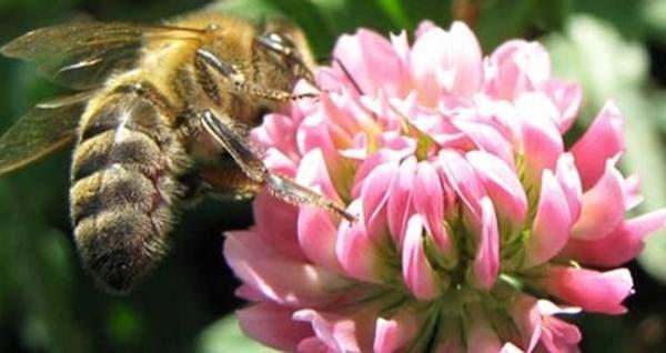 Abeille recueille le nectar de fleur de trèfle