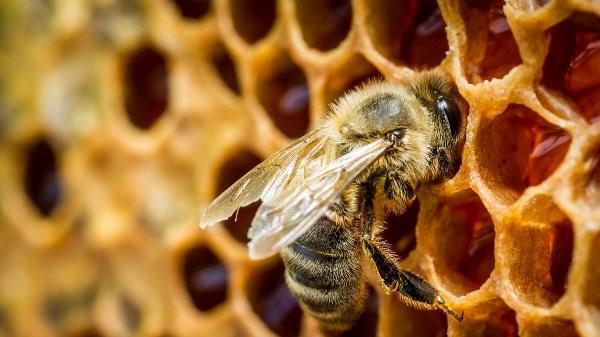 Abeille sur nid d'abeille