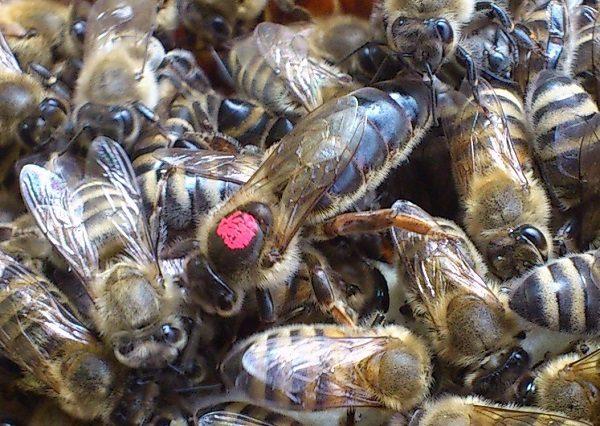 Marquage des abeilles