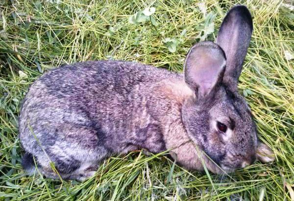 Coccidiose chez le lapin