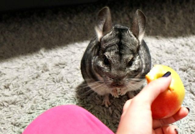 Comment et quoi nourrir les chinchillas à la maison