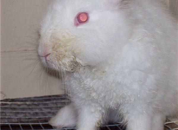 Stomatite infectieuse chez le lapin