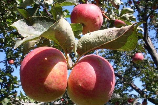 Variétés de pommes Zhigulevskoe: caractéristiques descriptives, historique de la sélection