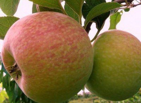 La variété des pommiers Candy: caractéristiques descriptives, règles de plantation et de soin