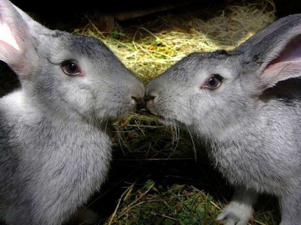 A quel âge les lapins peuvent-ils arriver et comment le faire?