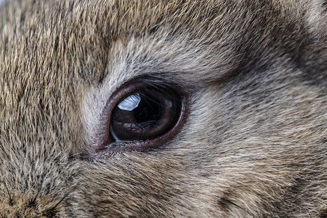 Maladies des yeux de lapin