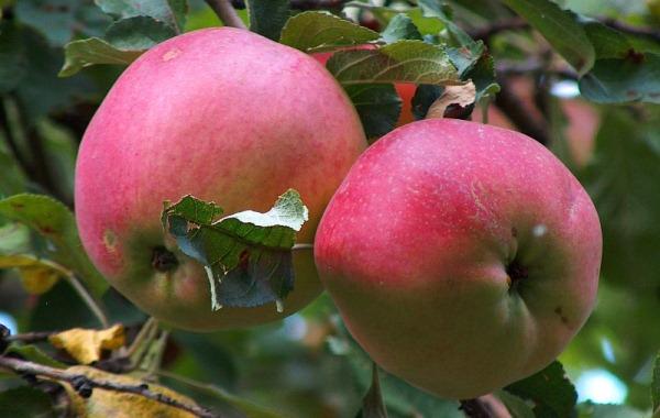 Pommes aport
