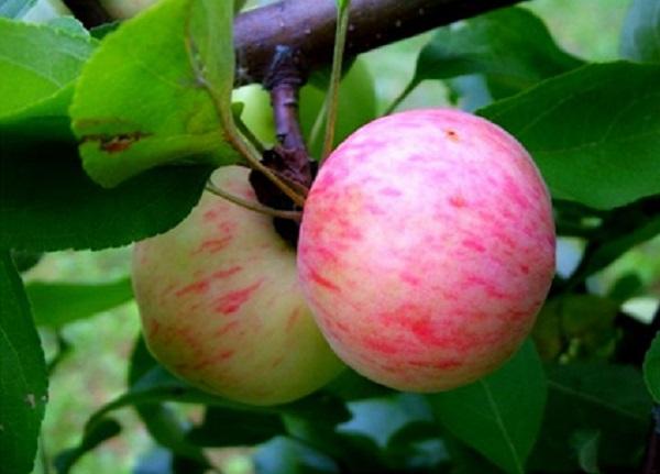 Pommes poire