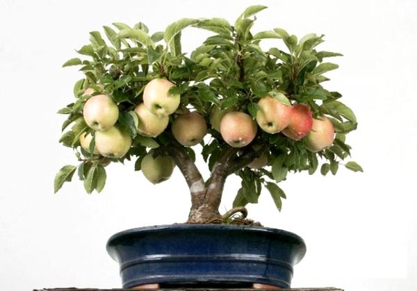 Comment faire pousser un pommier à partir de graines à la maison: instructions