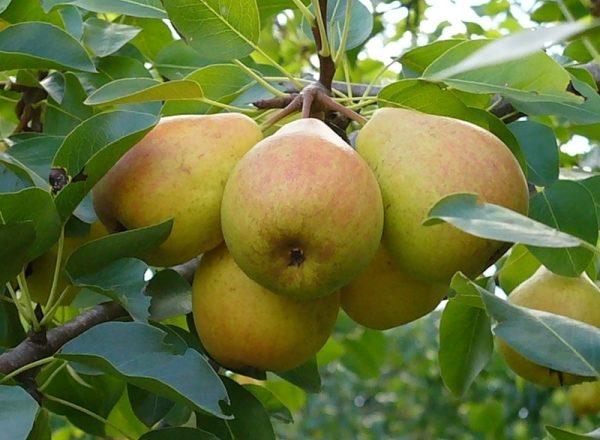 Variété de poires Favorite Klappa: description de la variété, avis de jardiniers