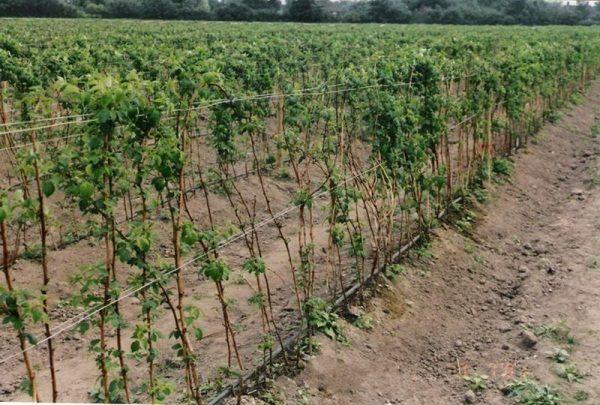 Réparation de la framboise: plantation, soin et élevage en ...