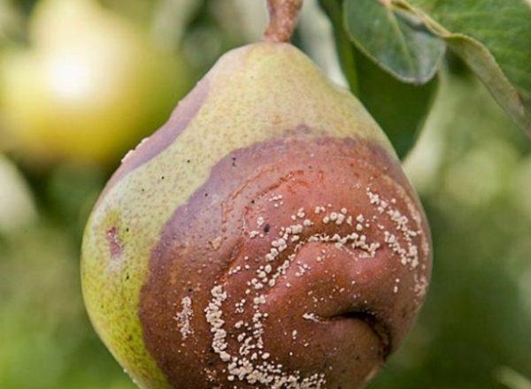 Pourquoi les poires pourrissent sur un arbre: trouvez la cause et éliminez-la