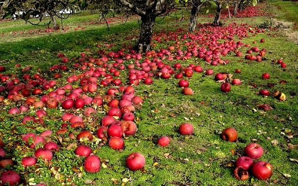 Causes de la chute des pommes