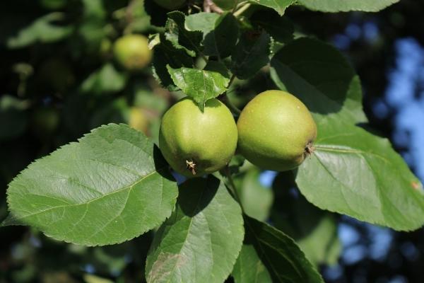 Que peut-on faire et comment appliquer des pommes non mûres?