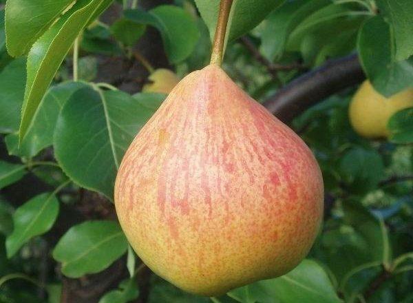 Variété de poires à la mémoire de Yakovlev: caractéristiques descriptives, règles de plantation et de soin