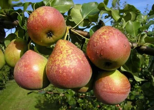 Description et caractéristiques de la variété de poires Marbre, avantages et inconvénients