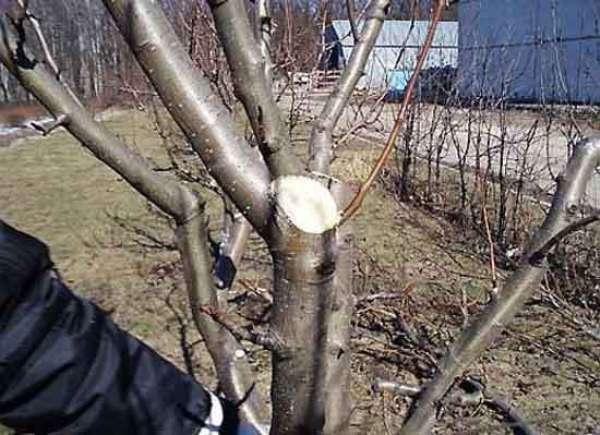 Pomme d'élagage