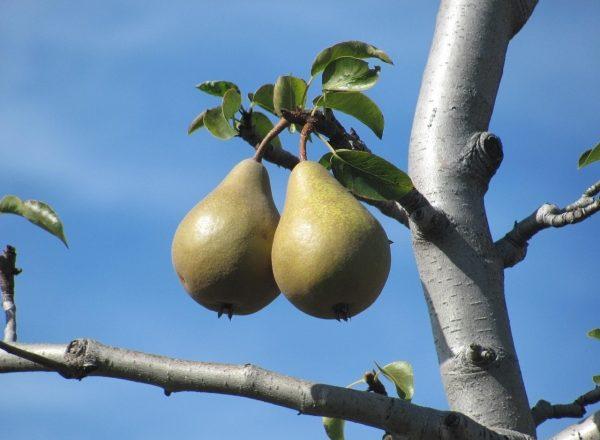 Pourquoi la poire ne fleurit pas et ne porte pas de fruits: les principales raisons des actions à prendre