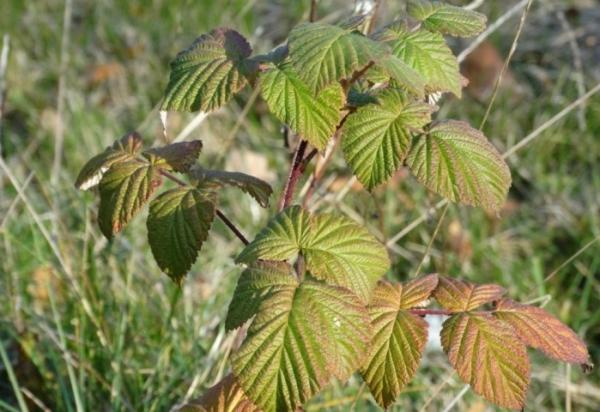 Planter des framboises à l'automne: quand, comment et en ...
