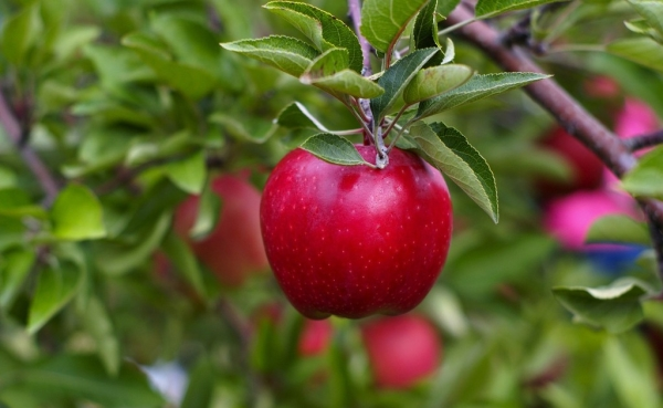 Quand et comment planter des pommes: conseils utiles et instructions étape par étape