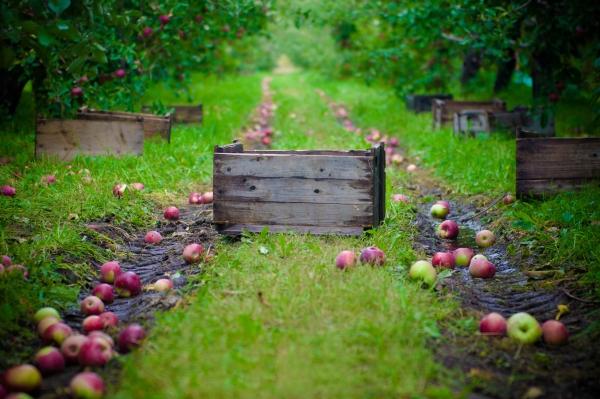 Quand et comment collecter les pommes pour les conserver en hiver: conseils
