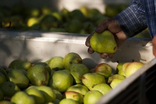 Quand enlever les poires d'un arbre: temps de maturation, conditions de stockage de la récolte