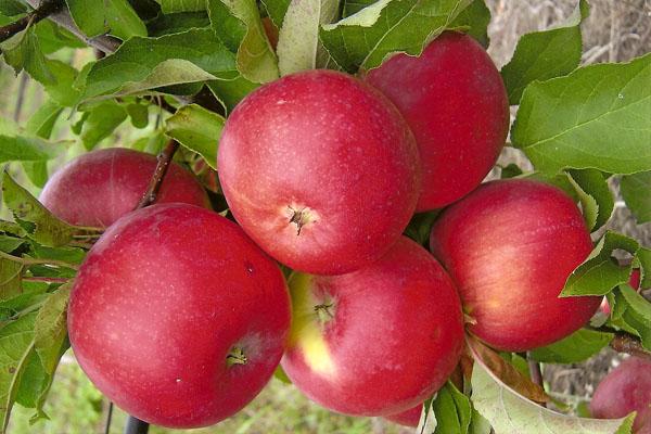 Fruits de pommier Welsey