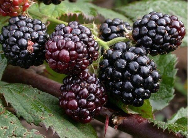 Blackberry sans déchirure