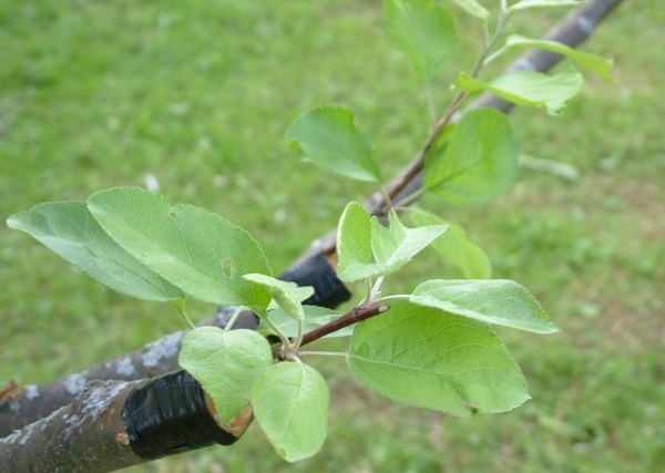 Comment planter une poire