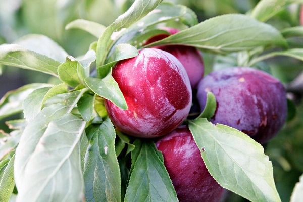 Maladies des prunes