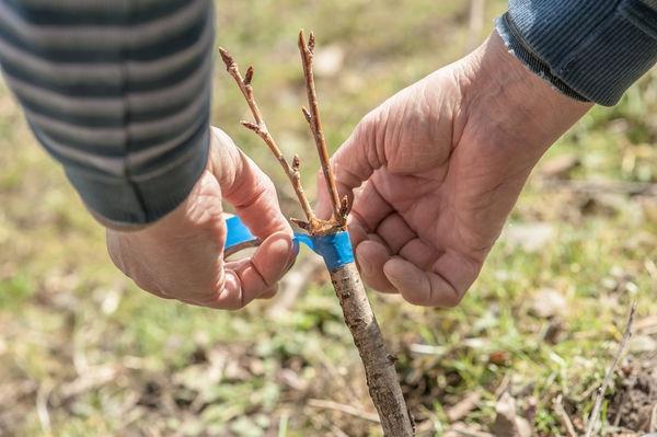 Méthodes et particularités de la reproduction des prunes: graines, boutures vertes, racines et greffe