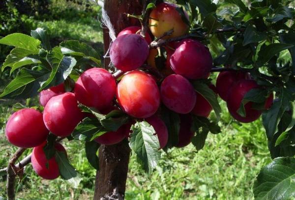 Prune de la variété rouge Ural: description des arbres, plantation et entretien, lutte contre les maladies et les ravageurs