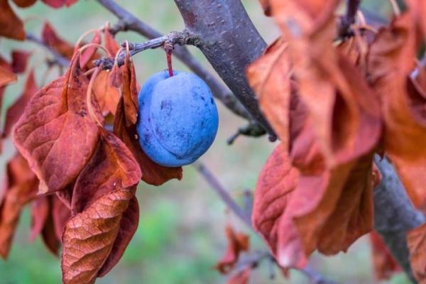 Soins appropriés des prunes à l'automne: mesures nécessaires