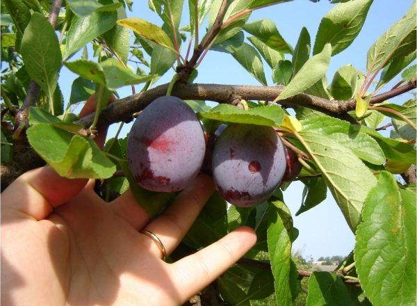 Quand et comment récolter les prunes: nous sommes déterminés avec les termes, nous suivons la technologie