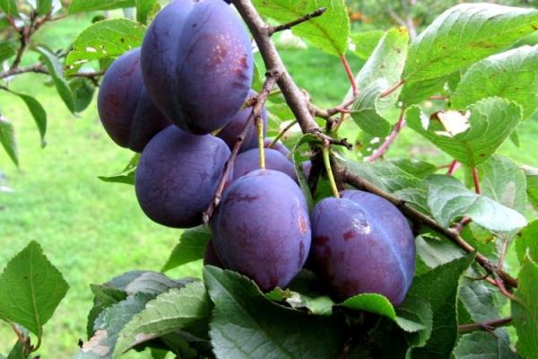 Pourquoi la prune ne porte-t-elle pas du fruit et que faire?