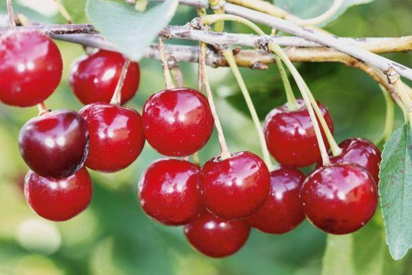 Cerisier Ural Rubis