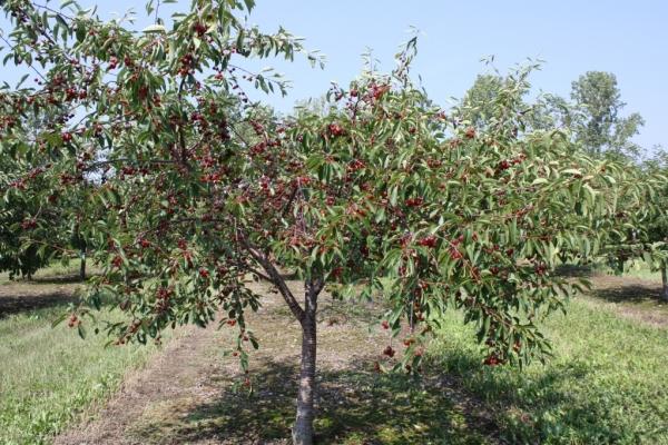 Planter des cerises en automne, prendre soin des arbres, recommandations utiles