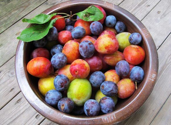 Les principales différences entre les prunes et les prunes cerises, leur composition chimique, leurs avantages et leurs inconvénients pour l'organisme