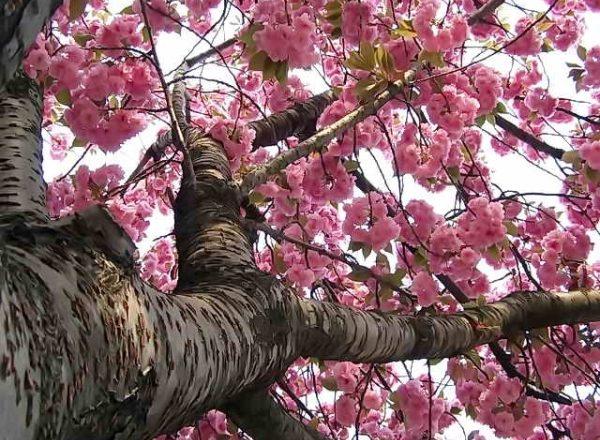 Sakura cerisier japonais: caractéristiques descriptives de l'arbre, plantation, soin, variétés