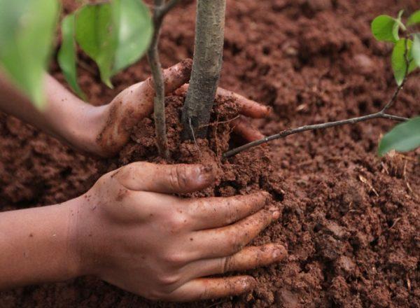 Comment et quand il est préférable de planter et de replanter le drain: un guide étape par étape pour la plantation et l'entretien