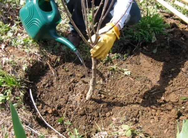 Les étapes et les avantages de la plantation de cerisier à l'automne, le choix des semis et des lieux