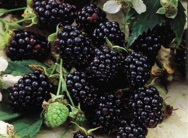 Variétés de mûres Chester: description et caractéristiques, astuces pour la plantation et les soins