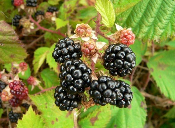 Règles pour la plantation et l'entretien des mûres de jardin
