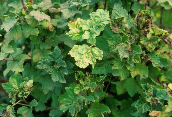 Pucerons sur les feuilles de cassis