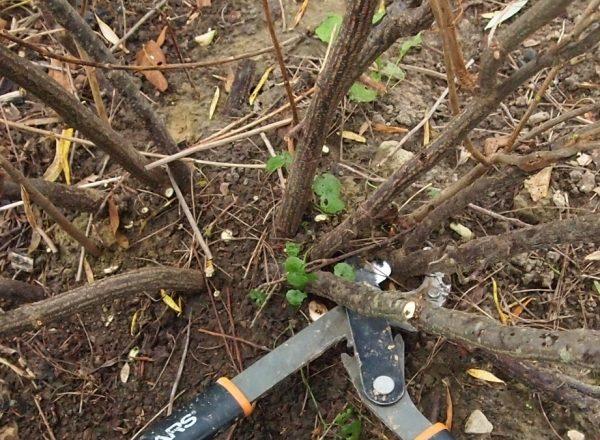Comment rajeunir le vieux buisson de groseilles noires et rouges: objectifs d'élagage et procédure pas à pas